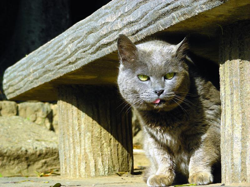 コンクリートベンチ下のグレー猫2