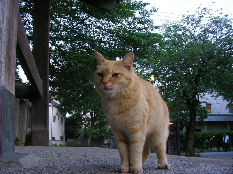 鐘撞き堂の茶トラ猫2