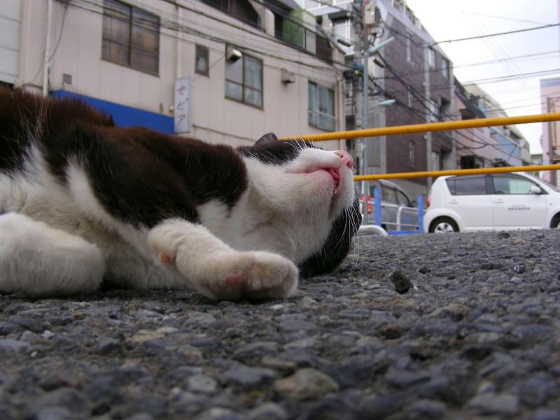 駐車場の黒白猫2