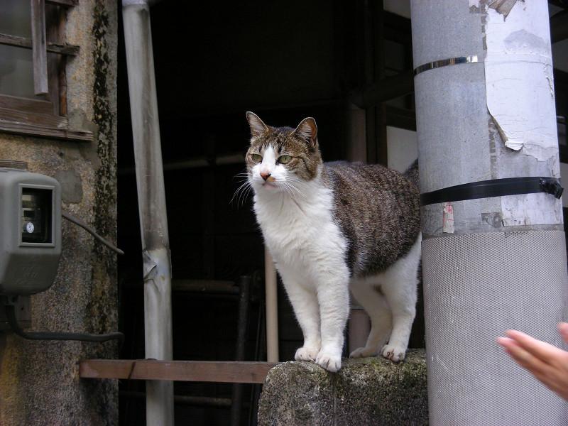玄関ブロック塀のキジ白猫2