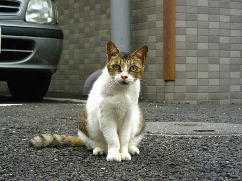 建物前のキジ白猫2
