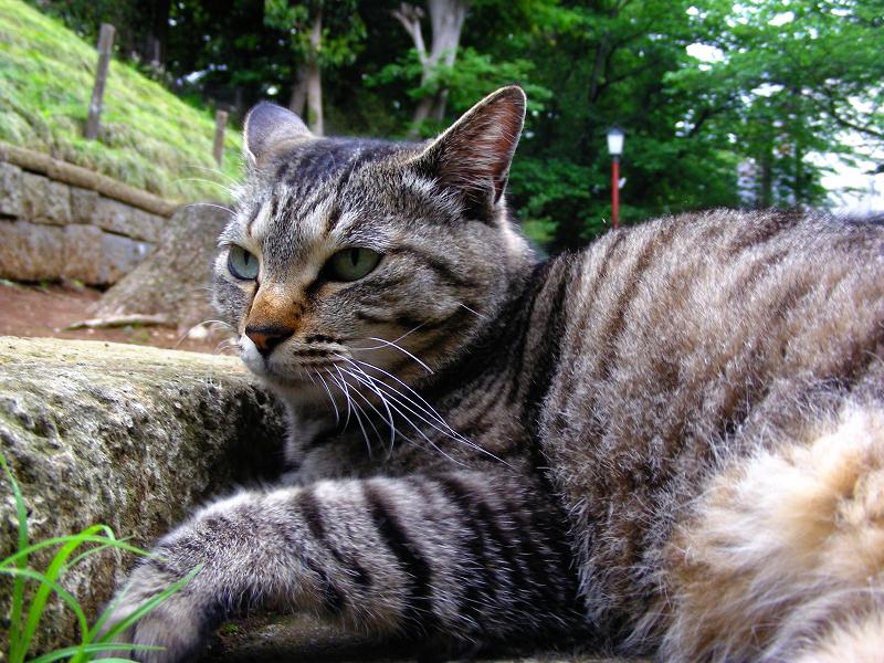 カキカキして寛ぐキジトラ猫3