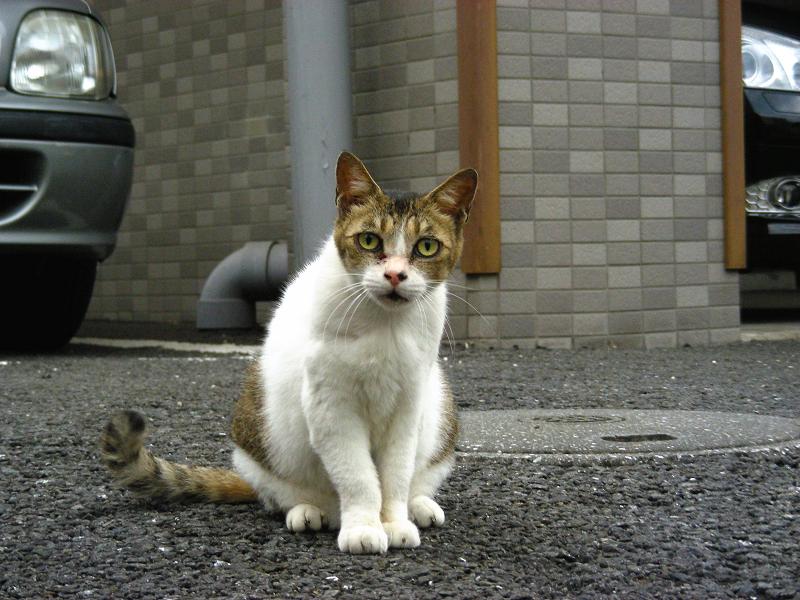 建物前のキジ白猫3