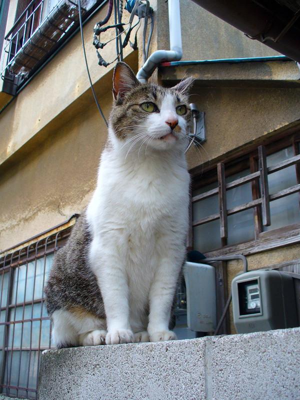 玄関ブロック塀のキジ白猫3