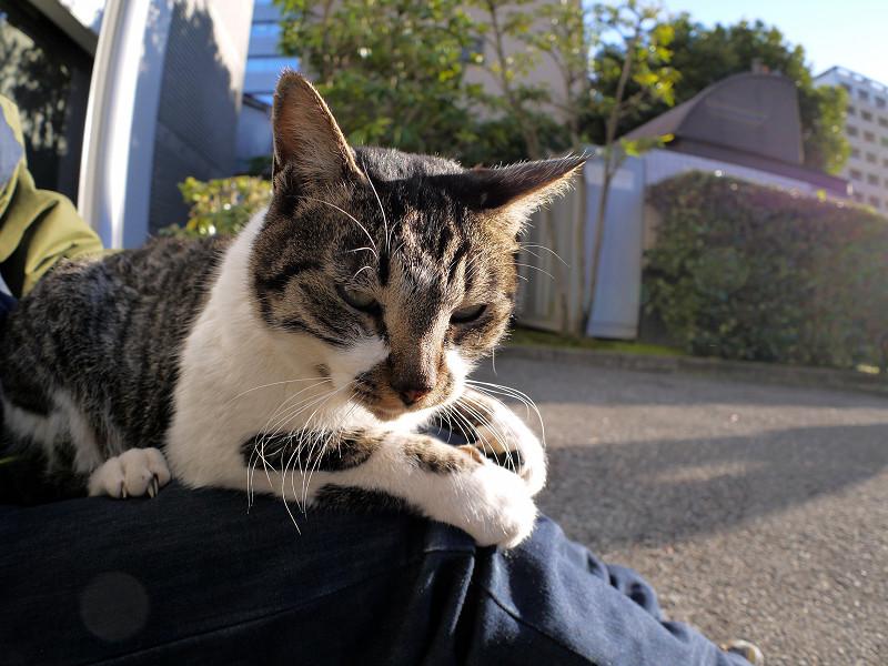 膝でパッツンキジ白猫1