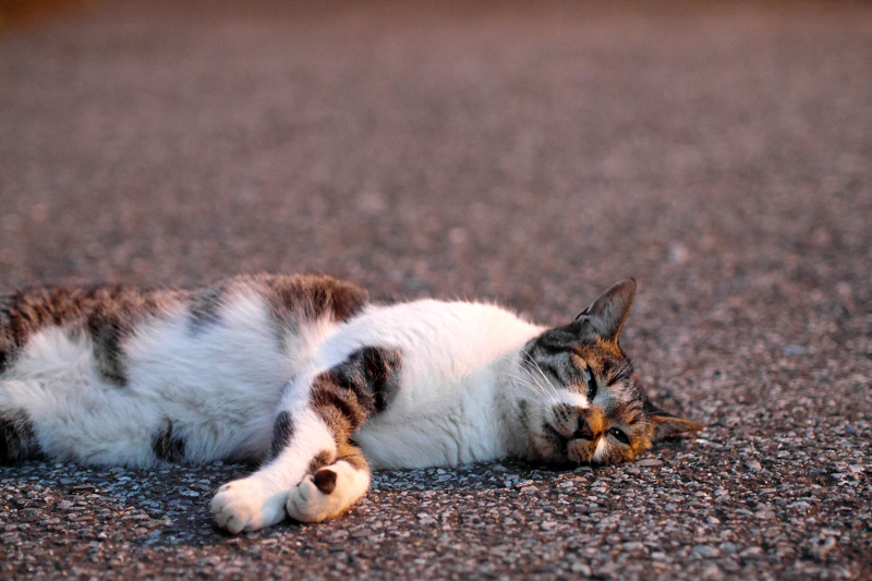 境内で寝転ぶキジ白猫1