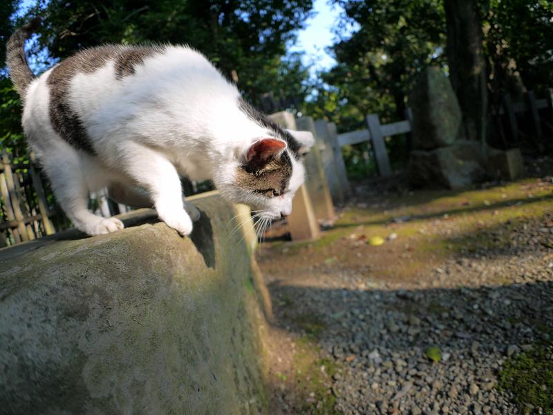 下へ降りる白キジ猫2