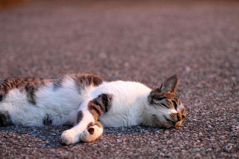 境内で寝転ぶキジ白猫2