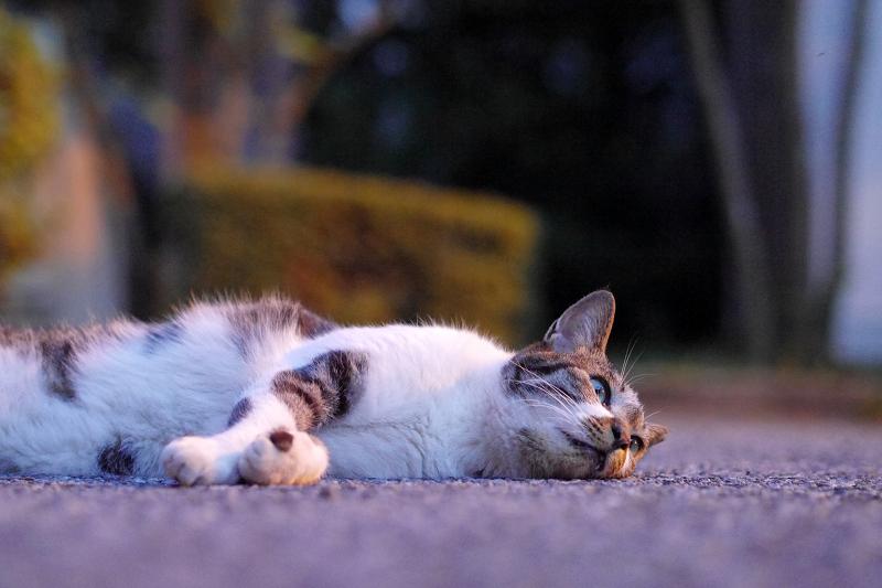 境内で寝転ぶキジ白猫3