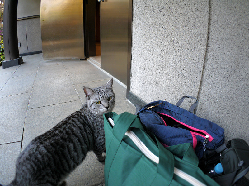 バッグとサバトラ猫1