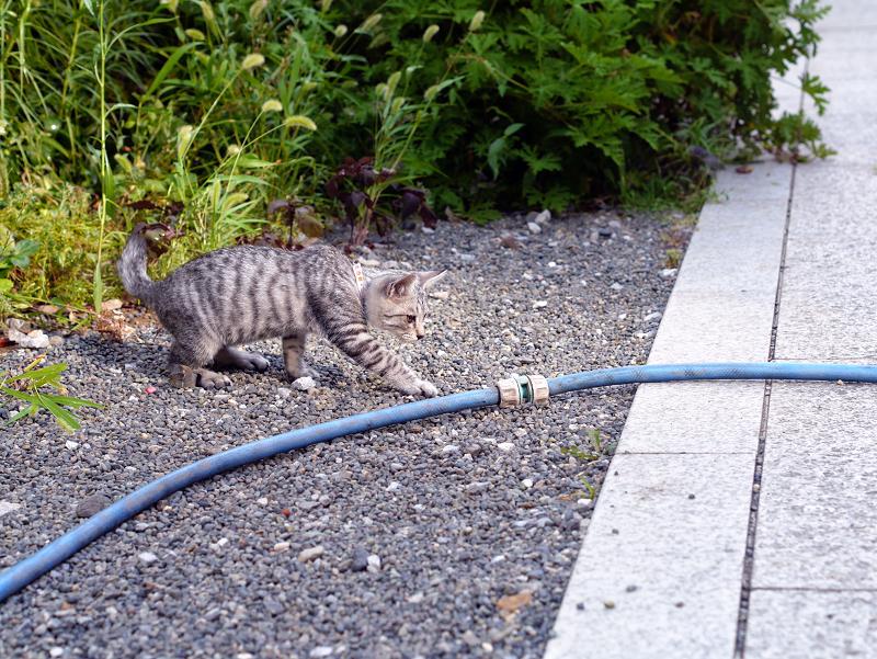 ホースに飛びつくサバトラ仔猫1