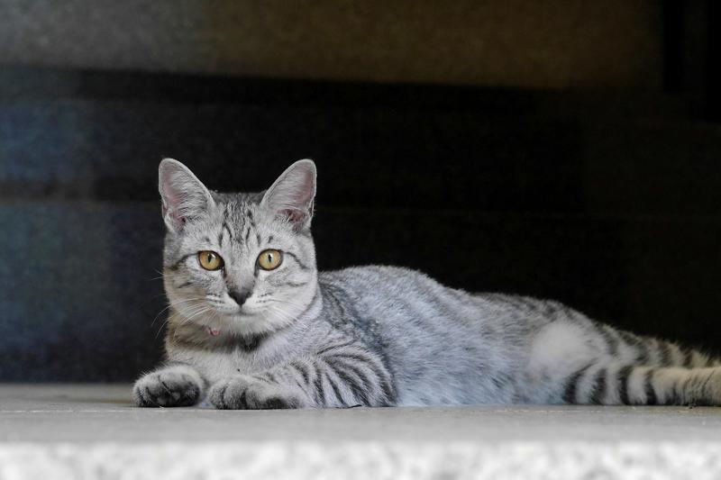 お堂内で腹ばうサバトラ仔猫1