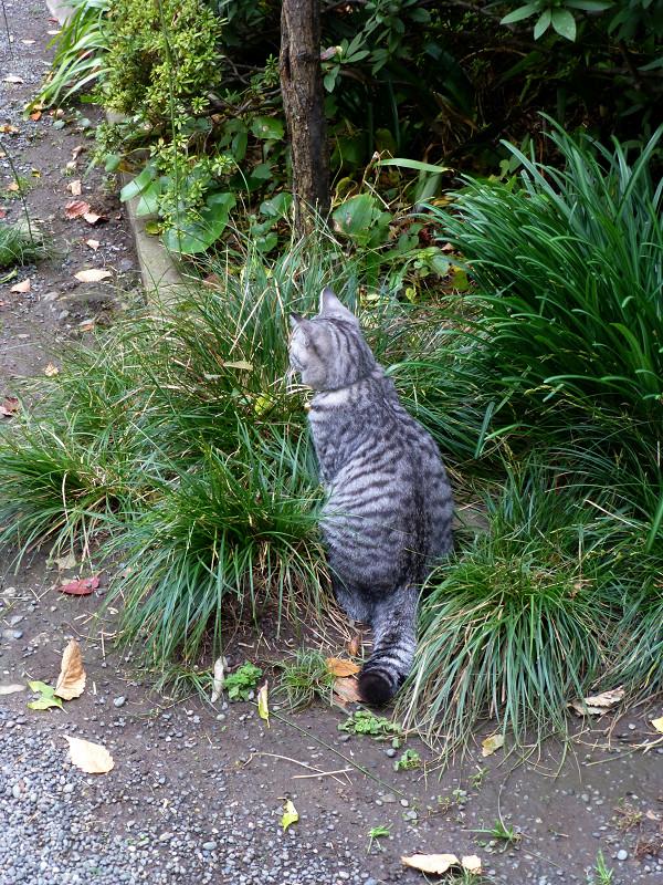 草むらのサバ白猫1
