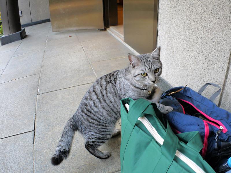 バッグとサバトラ猫2