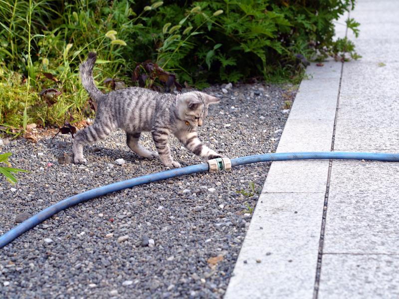 ホースに飛びつくサバトラ仔猫2
