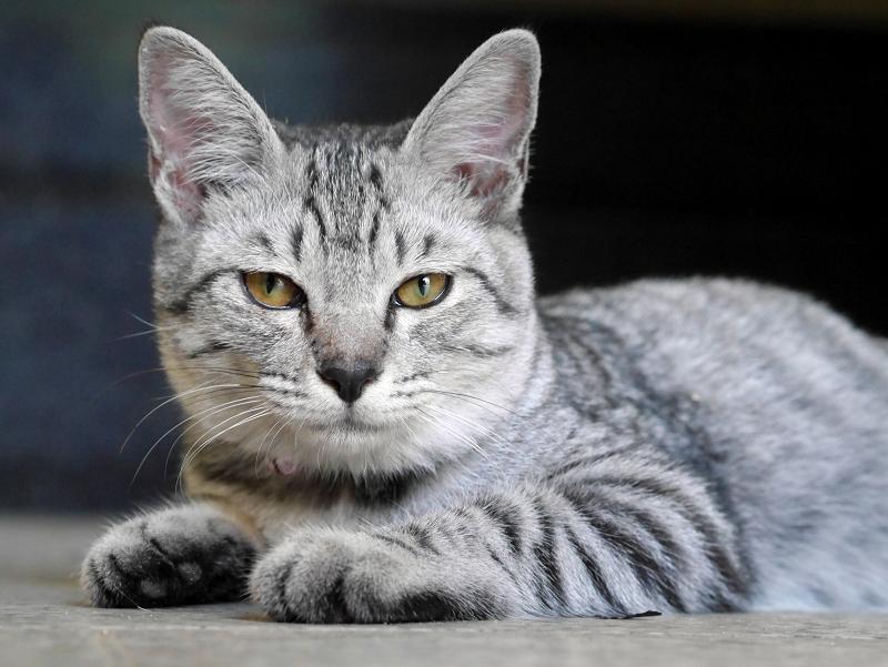 お堂内で腹ばうサバトラ仔猫2