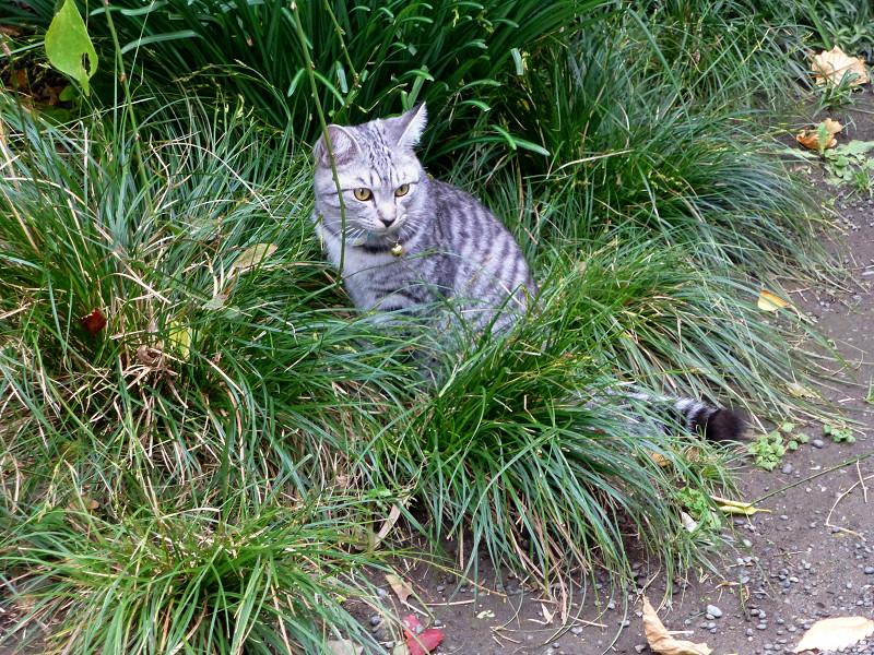 草むらのサバ白猫2