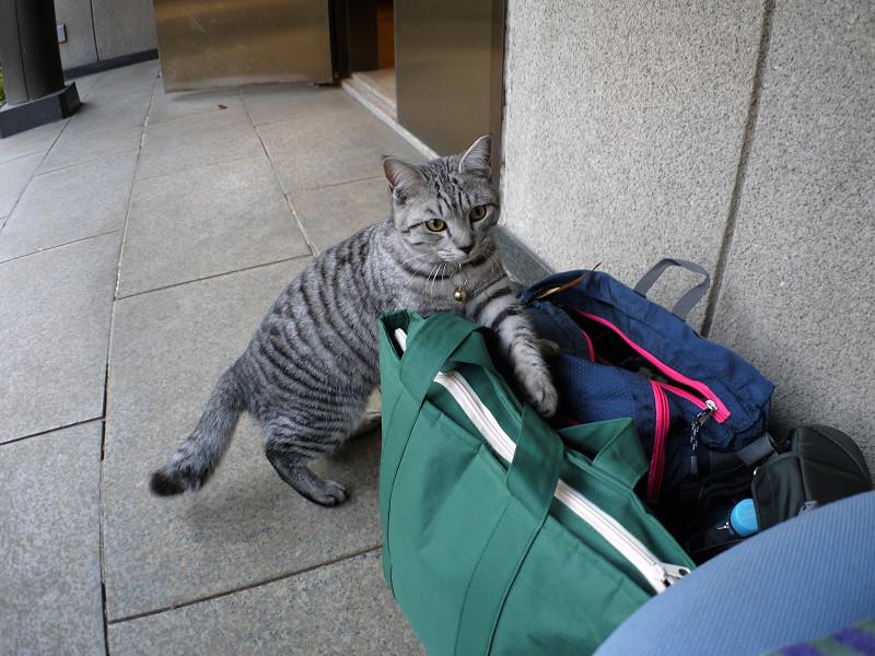 バッグとサバトラ猫3