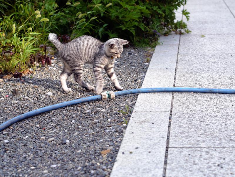 ホースに飛びつくサバトラ仔猫3