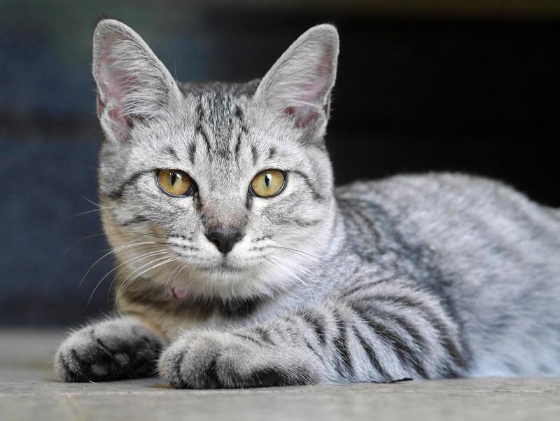 お堂内で腹ばうサバトラ仔猫3