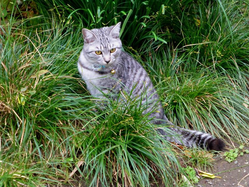 草むらのサバ白猫3