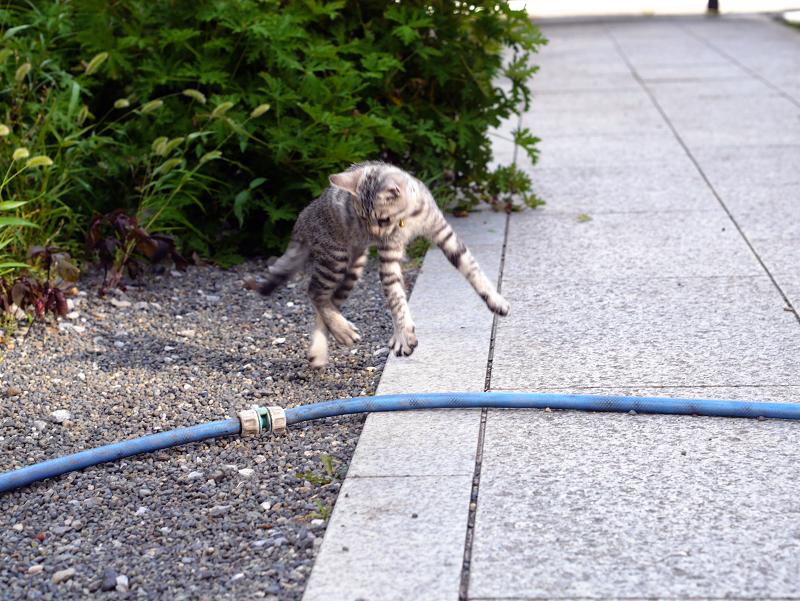 ホースに飛びつくサバトラ仔猫4