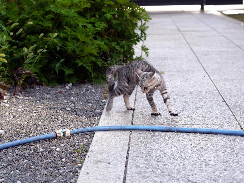 ホースに飛びつくサバトラ仔猫5