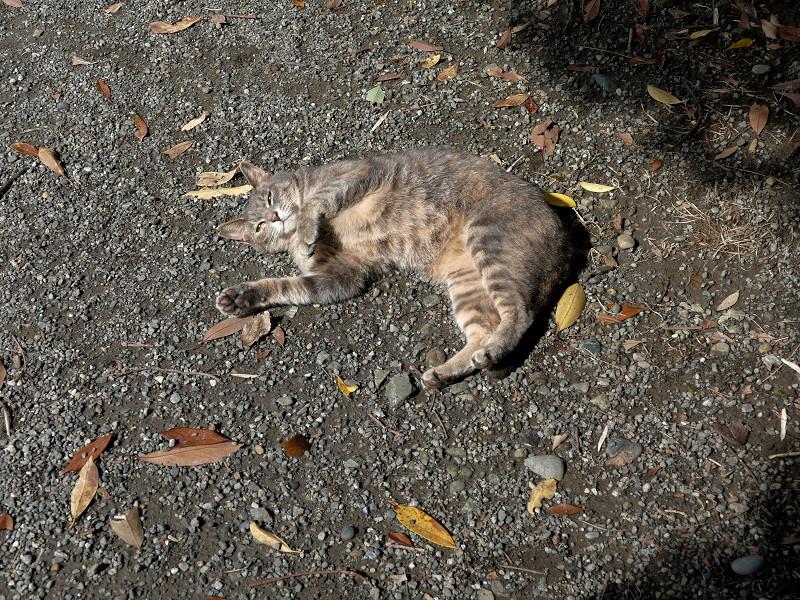 地面で転がり続けるグレー猫1