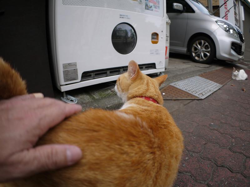 お店の前の茶白猫2