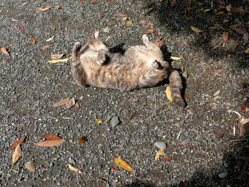 地面で転がり続けるグレー猫2