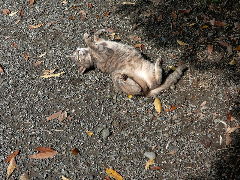 地面で転がり続けるグレー猫3