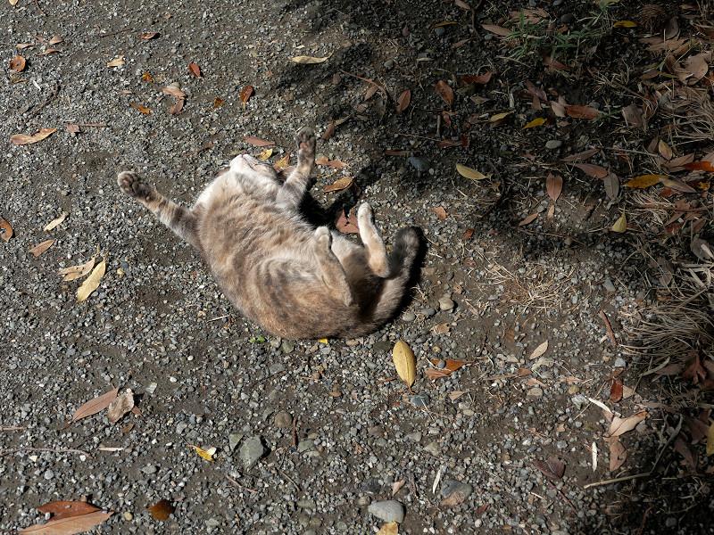 地面で転がり続けるグレー猫4