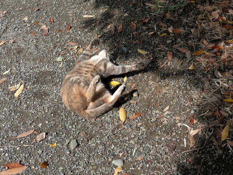地面で転がり続けるグレー猫5