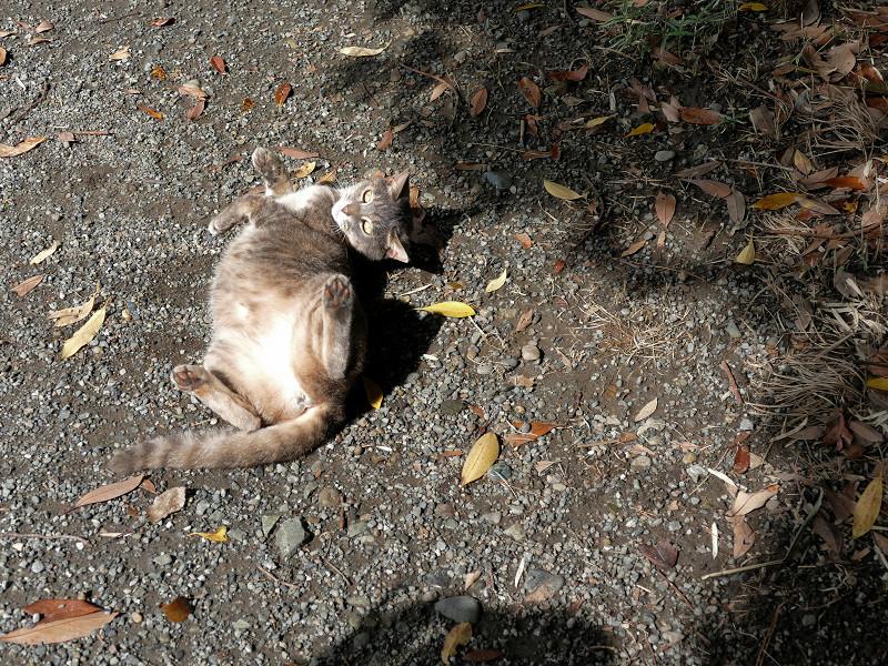 地面で転がり続けるグレー猫6