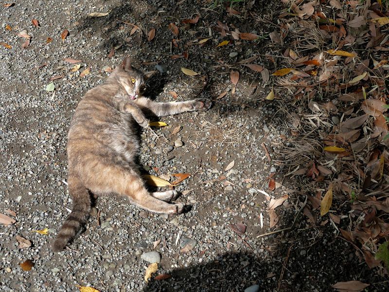地面で転がり続けるグレー猫7
