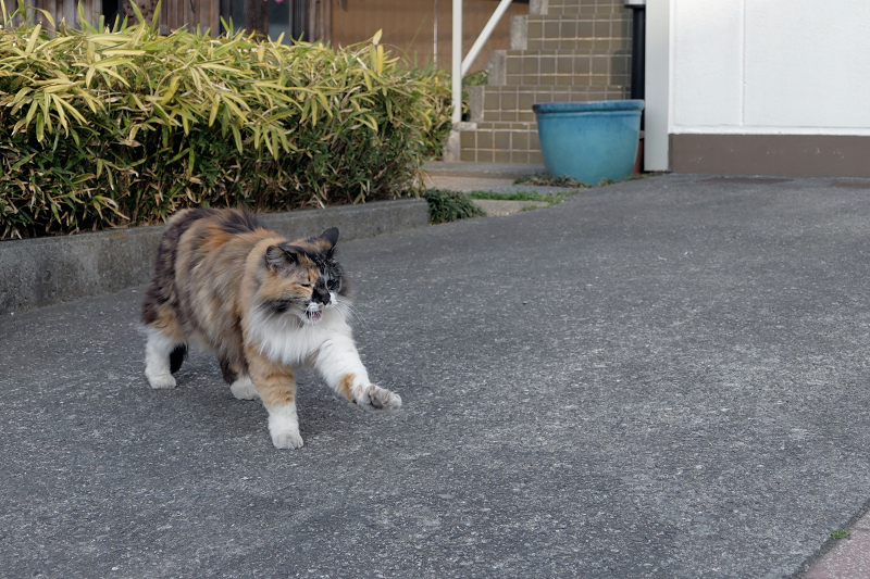 寄って来てくれた毛長の三毛猫1