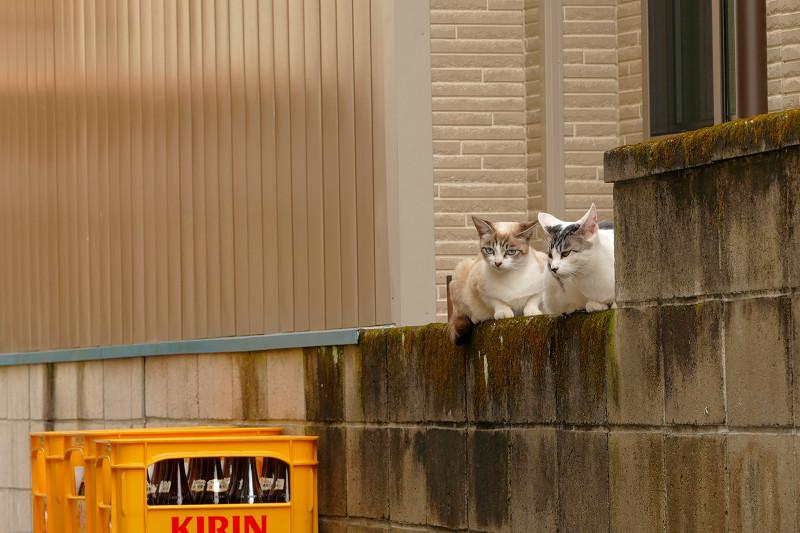 ブロック塀で集まる親子猫1