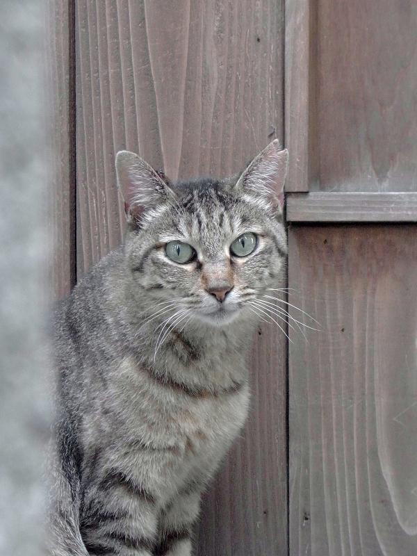 木のドア前のキジトラ猫1
