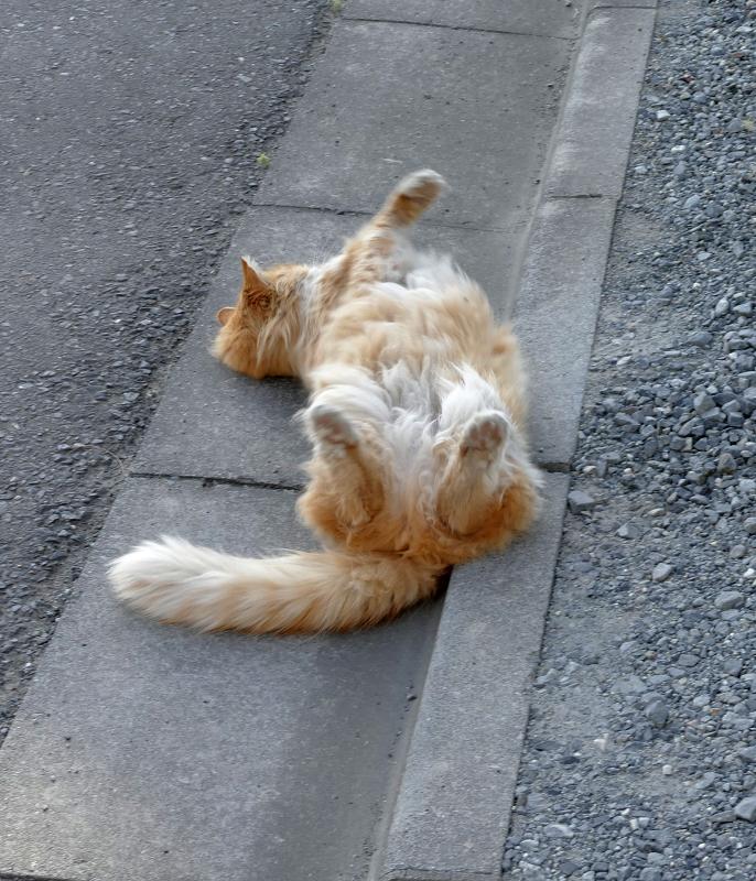 縁石で転がる毛長の茶白猫2