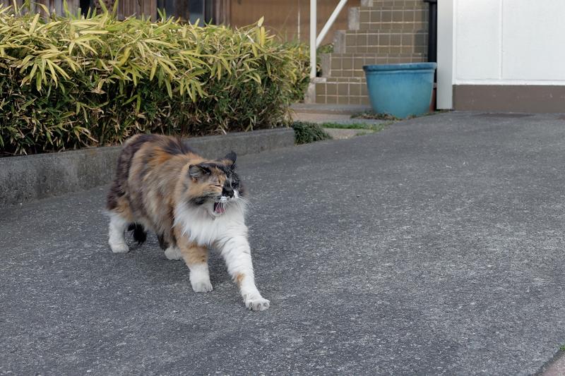 寄って来てくれた毛長の三毛猫2