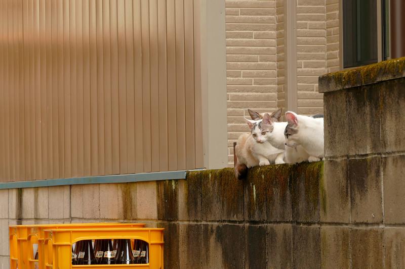 ブロック塀で集まる親子猫2