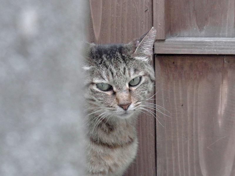 木のドア前のキジトラ猫2