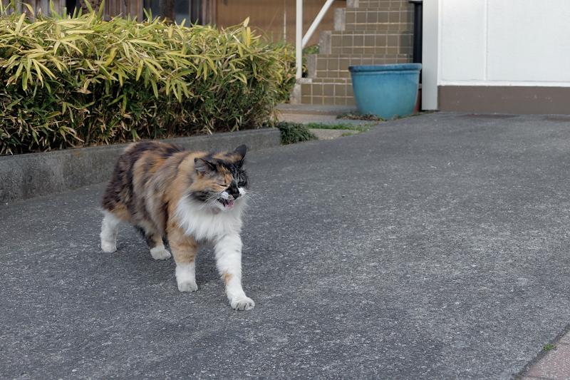 寄って来てくれた毛長の三毛猫3