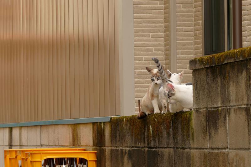 ブロック塀で集まる親子猫3