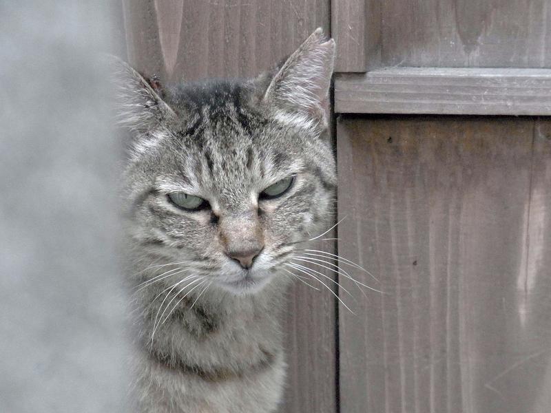 木のドア前のキジトラ猫3