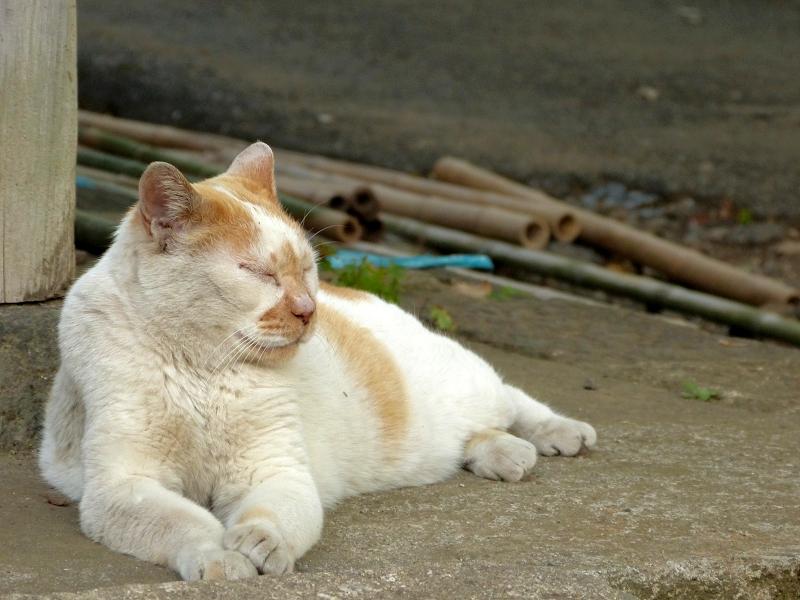 お堂で横座り白茶猫2