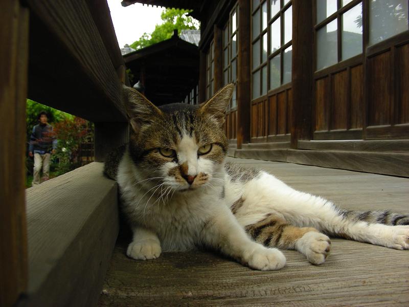 濡れ縁で睨むキジ白猫1
