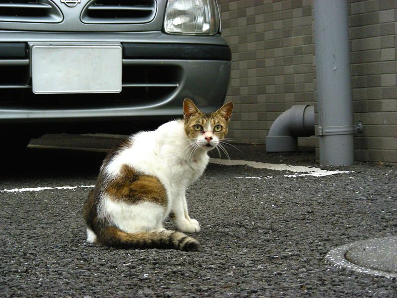 鳴いているキジ白猫1