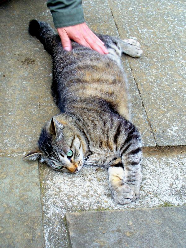 寝転び触られるキジトラ猫1