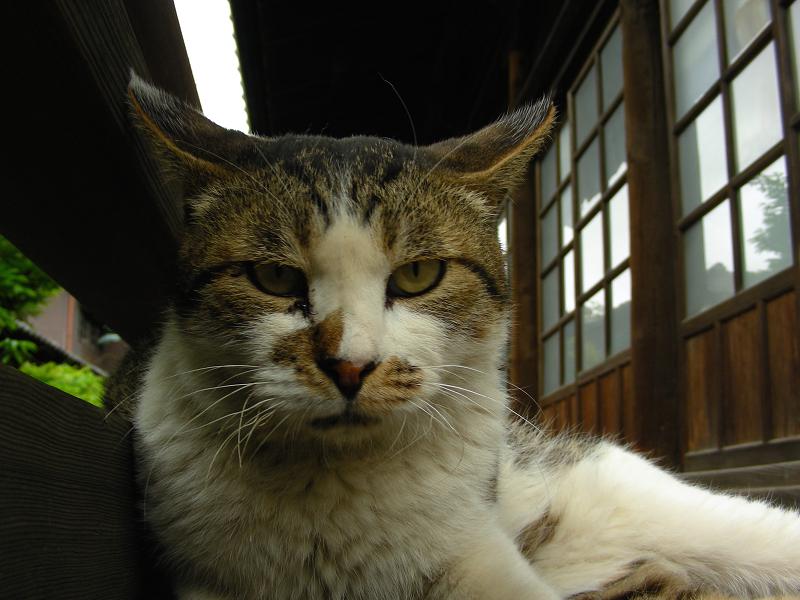 濡れ縁で睨むキジ白猫2